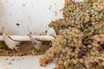 Debris removal: bunches of white grapes in the destemmer