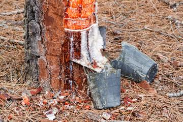 Aprovechamiento de resina, incisiones en el tronco y recipientes. Pino resinero, negral. Pinus pinaster.
