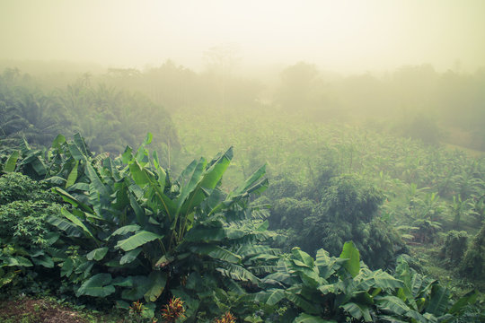 banana trees plantation in morning mist and sunlight