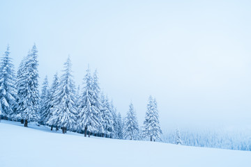 Wall Mural - Winter in the mountain spruce forest