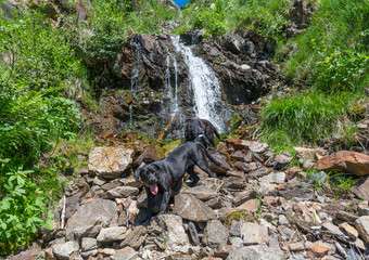 Labrador Retriever Black Dog lay in the mountains