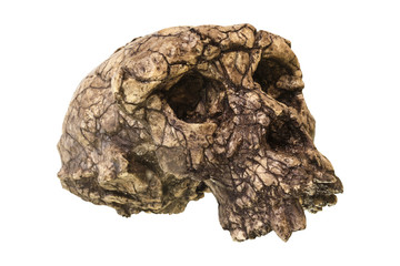 Sahelanthropus tchadensis Skull ( Toumai ) . Discovered in 2001 in Djurab desert in Northern Chad , Central africa . Dated to 7-6 million years ago