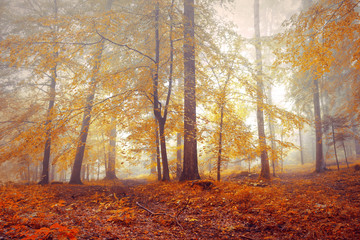 Wall Mural - Colorful autumn leaves in the foggy forest tree landscape.