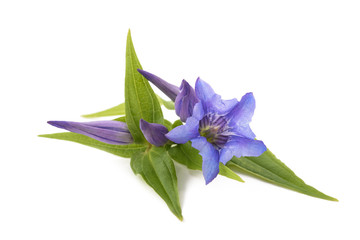 Wall Mural - gentiana ( willow gentian )