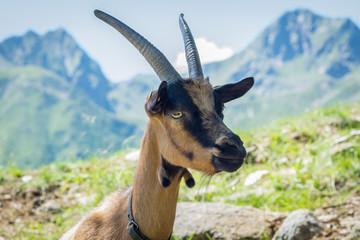 Goat portrait. Alpine mountain goat 'camosciata delle alpi'