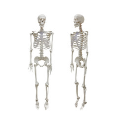 Human skeleton isolated on white background, healthcare and medical