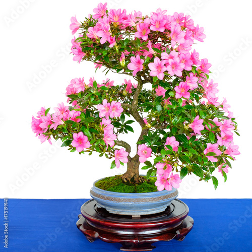rhododendron bonsai baum mit rosa bl ten stock photo and. Black Bedroom Furniture Sets. Home Design Ideas