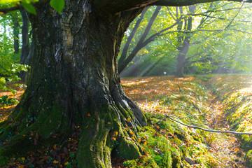 massive beech tree in a park