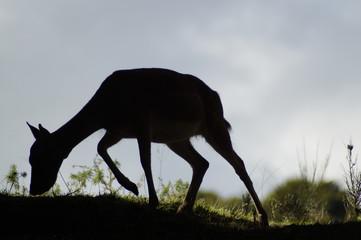 Silhouette einer Hirschkuh am Morgen