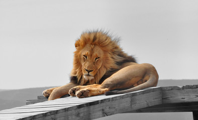 Color isolation: big male lion on platform