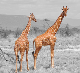 Color isolation: two reticulated giraffes