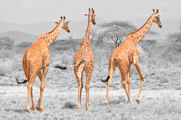 Color isolation: three reticulated giraffes