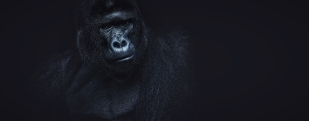 Portrait of a male gorilla on a black background, severe silverback, Grave look of the great ape, the most dangerous and biggest monkey of the world. APE
