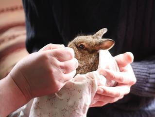 Little bunny in female hands. Seeding process by milk.