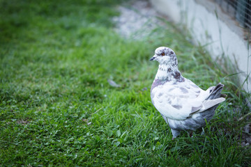White and gray pigeons on the grass