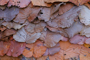 Dipterocarpus tuberculatus, dried leaves sort for roof