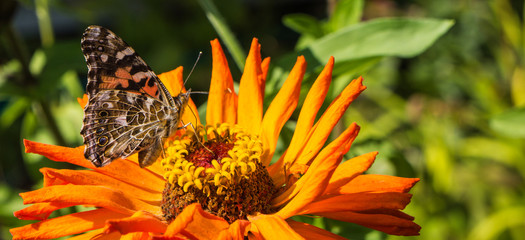 painted lady butterfly feeding on a bright orange Zinnia