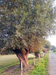 Kopfweiden hinter einem Drahtzaun