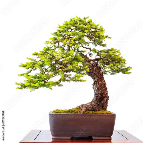 alter nadelbau fichte als kleiner bonsai baum stockfotos und lizenzfreie bilder auf fotolia. Black Bedroom Furniture Sets. Home Design Ideas