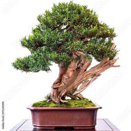nadelbaum eibe als bonsai baum mit totholz stockfotos und lizenzfreie bilder auf. Black Bedroom Furniture Sets. Home Design Ideas