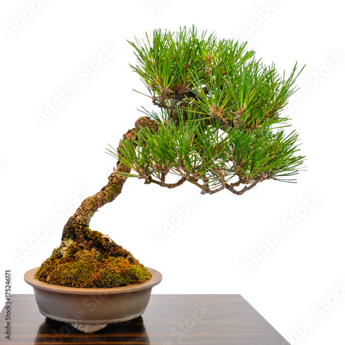 kleiner nadelbaum kiefer als bonsai baum stockfotos und. Black Bedroom Furniture Sets. Home Design Ideas