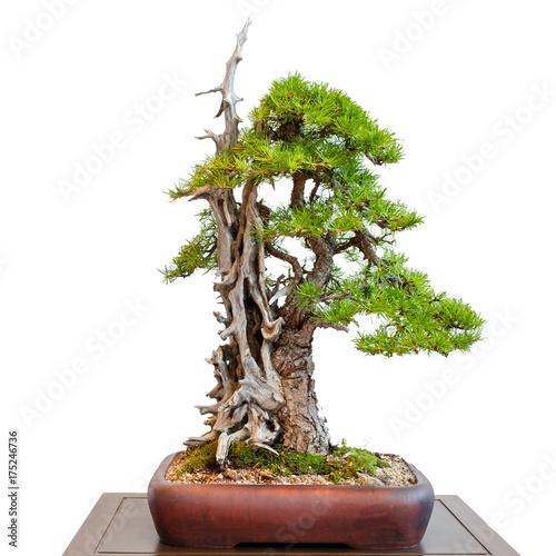 alte l rche nadelbaum mit totholz als bonsai baum stockfotos und lizenzfreie bilder auf. Black Bedroom Furniture Sets. Home Design Ideas