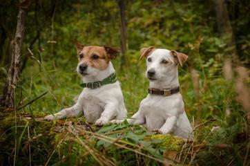 две белые собаки в лесу