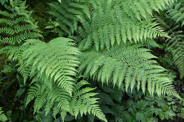 Fern leaves / Fern - the oldest plant on Earth