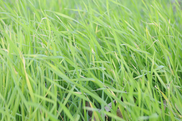 the green juicy grass texture