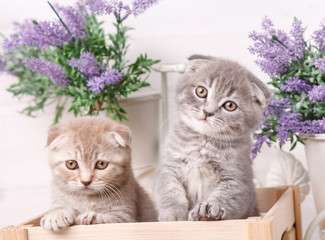 Portrait of two Scottish kittens. Playful cats in the drawer. Beautiful cats background.