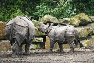 Poster Rhino Baby neushoorn blert tegen moeder