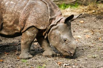 Foto auf Acrylglas Nashorn Baby Indische neushoorn snuffelt op de grond