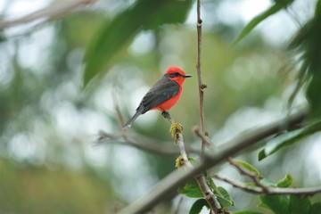 Male Vermillion Flycatcher red breasted bird ecuador cotacachi