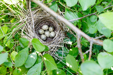 Sylvia communis. The nest of the Whitethroat in nature.