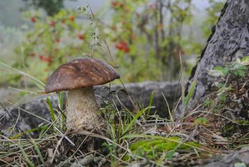 Grown brown cap boletus mushroom in the  roots