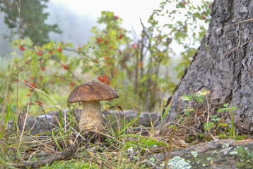 Grown brown cap boletus mushroom in the pine roots