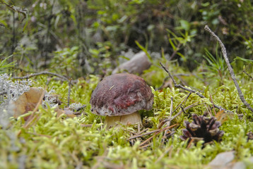 Little pennybun mushroom in the moss