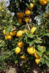 Ripe lemon fruits on the branches of the lemon tree.