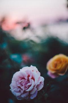 Close up beautiful rose at sunset time