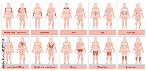 Muscle group chart - female body with the largest human muscles ...