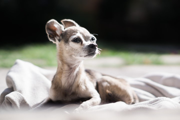 Chihuahua dog chilling out on a blanket