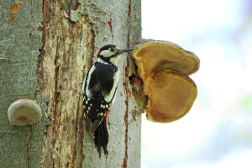 great spotted woodpecker, dendrocopos major, czech republic