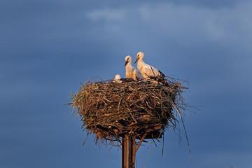 white stork, ciconia ciconia, Czech republic