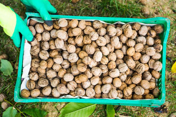 Worker holding box of fresh picked walnuts
