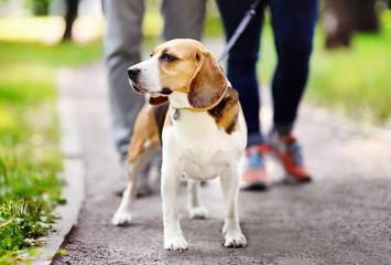 Couple walking with Beagle dog wearing in collar and leash in the summer park
