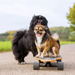 Pekinese and Chihuahua hybrid on a skateboard