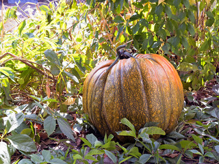Large ripening pumpkin sitting in a bed of leaves with fall colors all around.