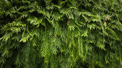 Nature green leaf background and textured, Beautiful leaf fern backdrop panorama