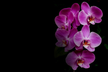 Pink orchid flower on black background with copy space.