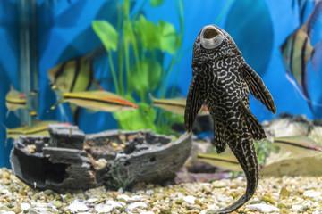 Fish-sucker plecostomus in a small beautiful aquarium.